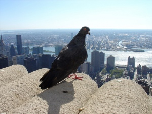 Pigeon King of the World